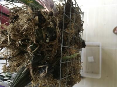 Мои орхидеи - IMG_0965.JPG